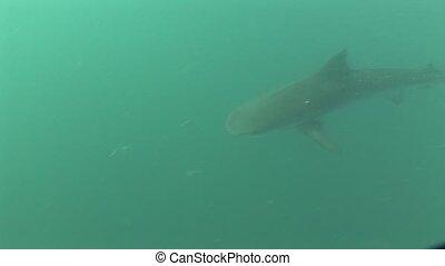 Dangerous big Tiger Shark Underwater - Underwater diving...