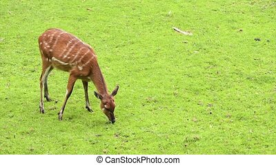 Western Sitatunga eating grass