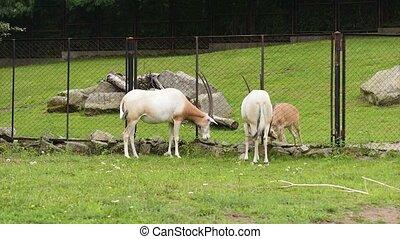 Scimitar Horned Oryx - Scimitar-Horned Oryx relaxing in zoo....
