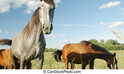 Horses in Green Field - grayish horse and brown horses in...