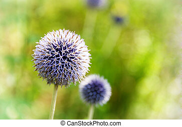 Blue allium flowers in sunlight