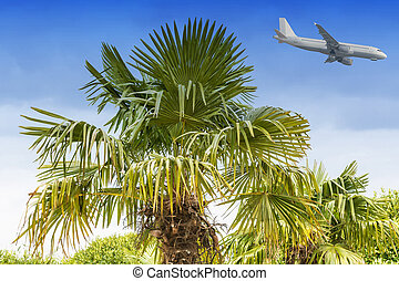 Airplane landing and palms - Large palm tree against a blue...