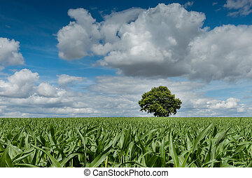 A summer field with corn, trees, and sky Lonely oak tree in...
