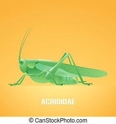 Realistic vector illustration of green insect Acrididae, locust, grasshopper