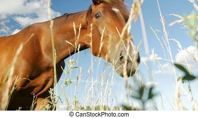 Horses in Green Field - Horse eats grass,low point shot....