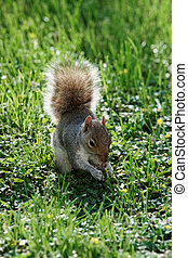 Running squirrel on the grass in the park - Small squirrel...