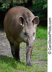 South American tapir (Tapirus terrestris) - South American...