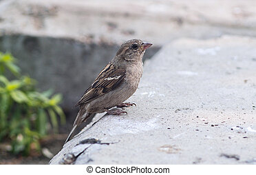 Brown sparrow (Passer domesticus) - A cute brown female...