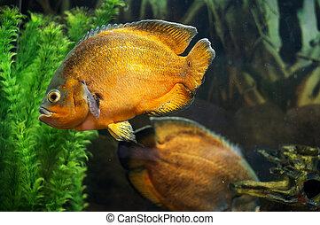 Oscar fish in aquarium - A photo of an oscar fish...