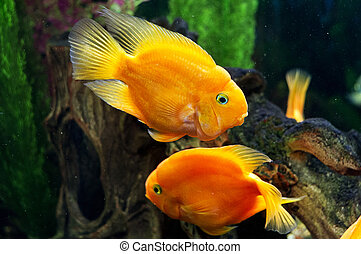 Parrot fishes in aquarium - The bright parrot fishes are in...