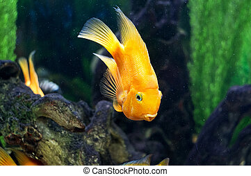 Parrot fish in aquarium - A bright parrot fish is in an...