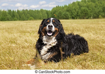 Bernese Mountain Dog lying on the field - Purebred Bernese...