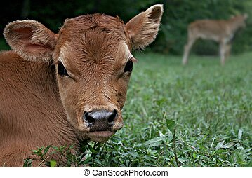 Jersey Bull Calf Bedded Down In Pasture On A Farm In North...