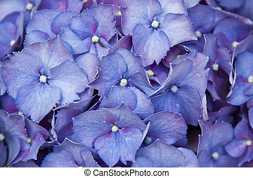 close-up of blue hydrangea, flowers