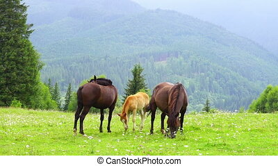 Horses Grazing in a Meadow - Two Horse and Foal Grazing in a...