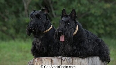 two Scottish Terriers on a stump in the park