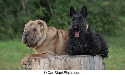 Shar Pei Dog and the Scottish terrier on a stump in the park