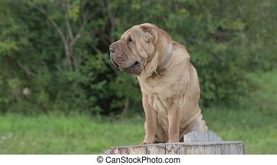 sharpei dog in park - Shar Pei dog in a park on a stump