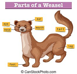 Different parts of weasel illustration