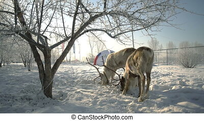 Deer eating grain in winter park slowmotion - Deer eating...