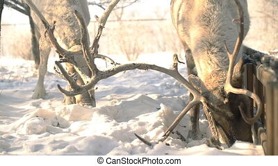 Deer fighting for food at winter slowmotion - Deer fighting...