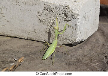 Mantis, climbing on a brick wall. The female mantis...