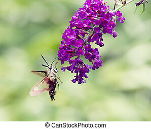Hummingbird Moth feeds on butterfly bush