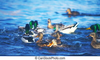 Ducks fighting for food in the river slowmotion