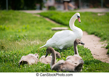 Swan mother with cygnet walking on the grass. Swan fam?y