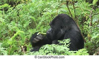 Wild Gorilla Rwanda tropical Forest - Rwanda wild Africa...
