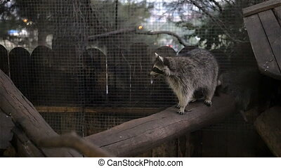 Raccoon Behind Bars In Zoo, HD