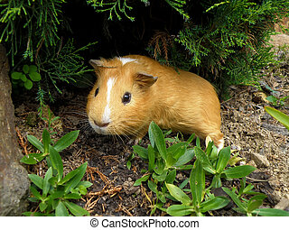 guinea pig - nice little guniea pig in wild nature