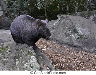 Wombat  on a Rock