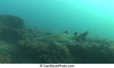 Dangerous big Tiger Shark Underwate - Underwater South...