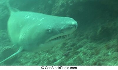 Dangerous big Tiger Shark Underwater - Underwater South...