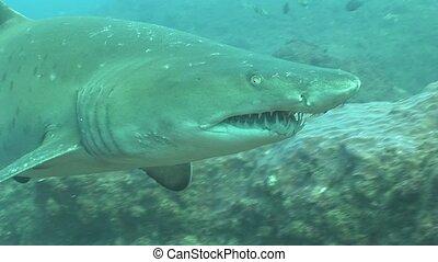 Dangerous big Tiger Shark Underwate - Underwater South...