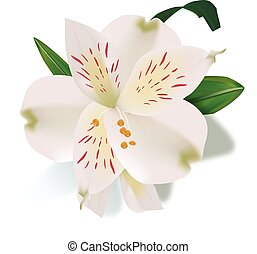 Realistic lily flower isolated - Realistic lily flower with...