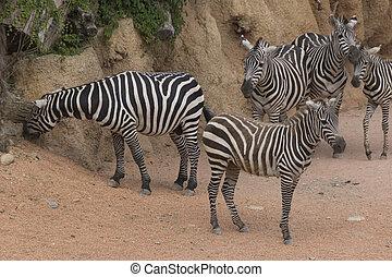 農場,  zebra