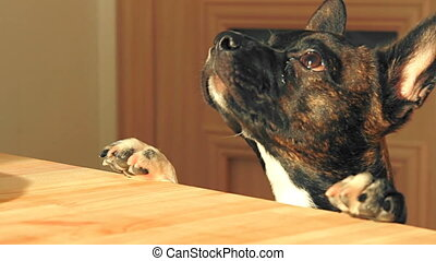 Funny young dog is jumping around the kitchen table and begging for food