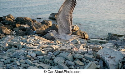 Big Seagull Taking Flight From Dirty Rocky Shoreline, Slow...