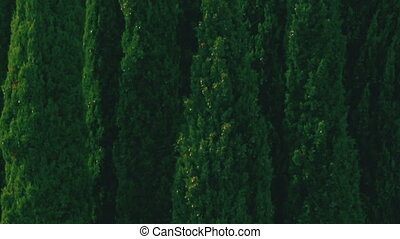 Close-up view of a small grove of green Fastigiate...