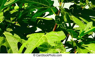 A common fig tree or Ficus carica with unripe fruits under...