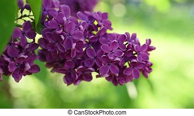 Lilac flowers background - Lilac purple flowers tree with...