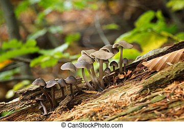 Mycena, Inedible mushrooms Uncultivated fungi