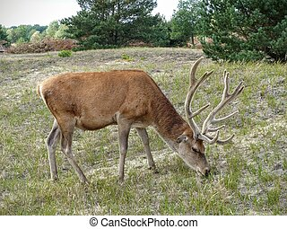 Deer grazing in woody pasture - A red deer stag Cervus...
