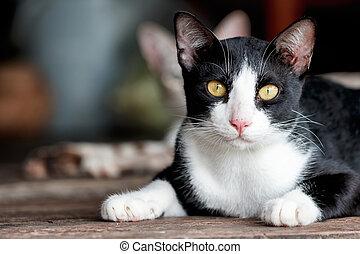 Black and white cat lying in wooden floor - Black white cat...