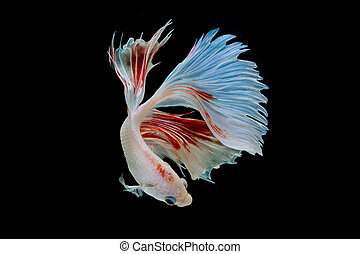 Moment of betta fish, siamese fighting fish isolated on...