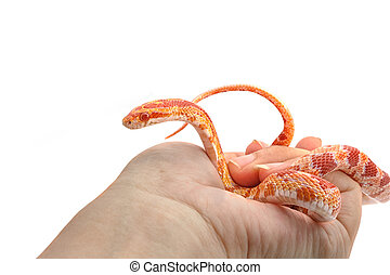Corn snake wrapped around woman hand