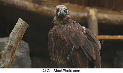 European Black Vulture Aegypius Monachus at the ZOO