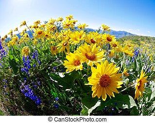 Arnica or balsam root or sunflowers.